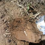 Earthworm in cotton field north of Sikeston, Missouri.